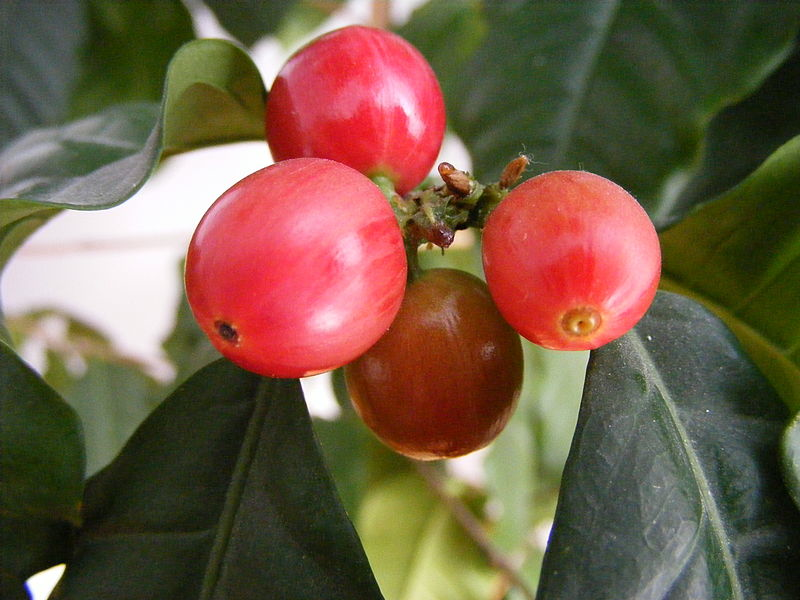 Mt. Si Coffee Roasters – The History of Coffee